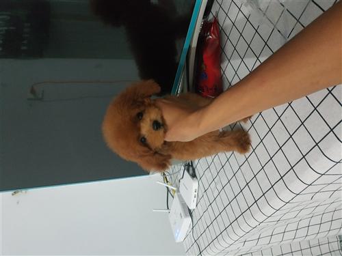 家养红色微小体泰迪宝宝找新家