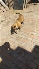 出售马犬一只5个月