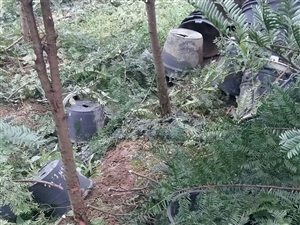 红豆杉  植物界的火星级投资项目