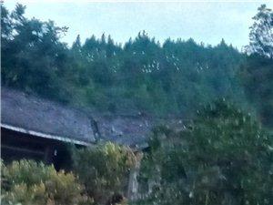 数百只白鹤齐聚金安乡青凤村:9月10日晚数百只白鹤来到青凤小学背后小山包上栖息。11日早上离开。但晚