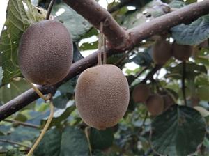 自家种地野生猕猴桃有需要的联系QQ微信547834632