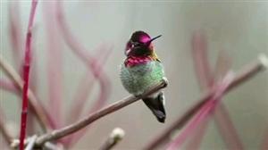 """世界罕见的珍贵小鸟""""变脸鸟"""""""