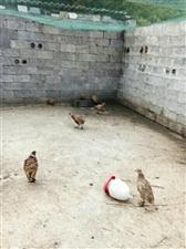 镇雄野鸡养殖