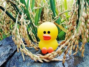 旅行中的小黄鸭哇
