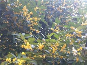 金秋时节,十里飘香的桂花又一次开始绽放自我的性命。一阵风掠过,桂花像一只只金黄色的蝴蝶纷纷落下。