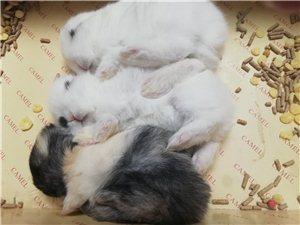 出售可爱的凤眼熊猫兔