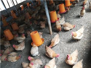 三黄鸡母鸡常年提供