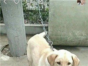 白衣男快把别人的→拉布拉多犬??还给主人