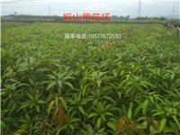 长期供应与批发各种芒果苗,品种有桂七,金煌,台农一号,贵妃芒,等等