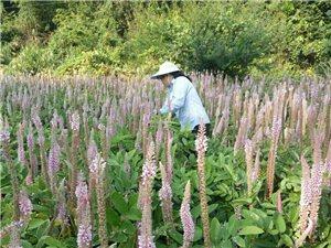 三标富塞村种植有几苗的石参,有需要者请联系