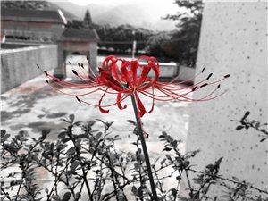 """彼岸花,恶魔??的温柔,又名""""曼珠沙华""""。花香传说有魔力,能唤醒死者生前的记忆。彼岸花,花叶两不相"""