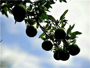 橘�M枝�^