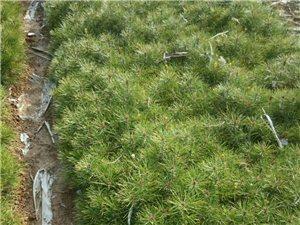白皮松树苗大量出售