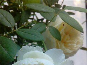 2006年英国奥斯汀推出。克莱尔奥斯汀,强没药/香草的味道