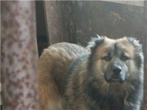 出售成年高加索犬