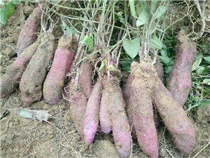 一万多斤紫薯(钛薯)上市,在吉谭团船村,有需要请联系