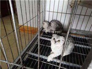 自家繁育英國銀漸短毛貓