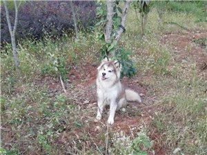 阿拉斯加犬急于出售