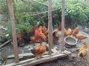 农村散养土鸡