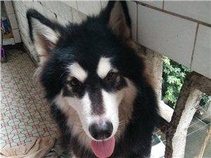 出售阿拉斯加犬一只