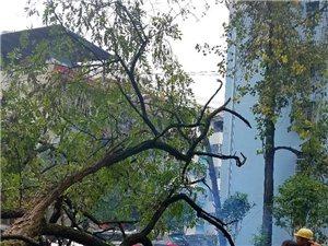 新濠天地娱乐官网半边城大树倒下砸坏小轿车!