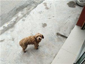 失狗招领:兴文在线的各位同胞们,你们谁家的泰迪狗掉了?