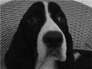 展示史宾格犬