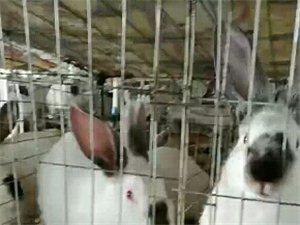 收购5斤左右的兔子!.