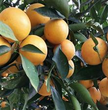 欢迎到富顺买柑橘