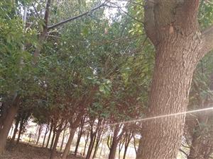 香樟樹優價出售,直徑22公分。
