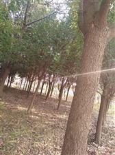 香樟树优价出售,直径22公分。