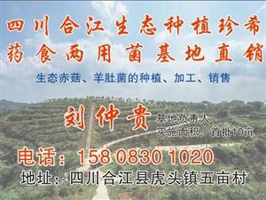 四川合江生态种植珍稀药食两用菌基地直销    赤菇