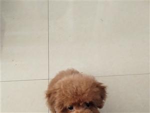 三个月泰迪幼犬疫苗已打2针 宠物用品免费