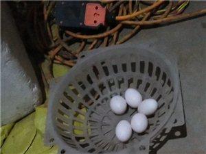新鮮鴿子蛋