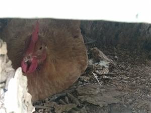 农家院子散养阉鸡