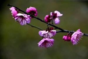 红梅绽放.春来到