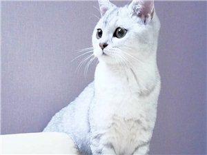 英短銀漸層母貓找對男朋友(已發情)