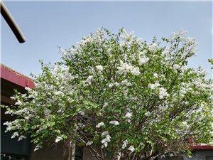 丁香花树,自己家的,从爷爷辈就有了,有五十年多了,很旺盛,开花时满院清香宜人,花和叶子还可以治疗眼疾...