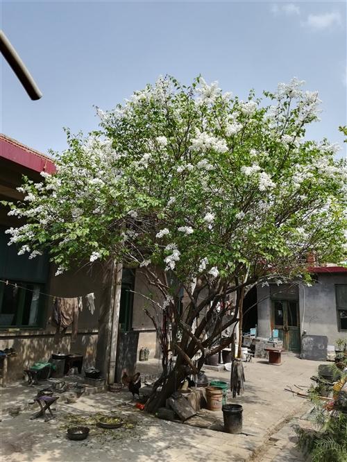 丁香花樹,自己家的,從爺爺輩就有了,有五十年多了,很旺盛,開花時滿院清香宜人,花和葉子還可以治療眼疾...