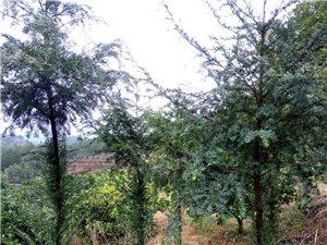 紅豆杉出售,價格美麗