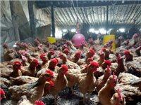 出售一斤半左右小雞,賣能長十多斤的大紅公雞,15元一斤,地址陳店鎮郭廟村委西100米電話135989...