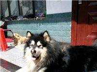 赠送家养爱犬