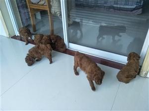 出售泰迪幼犬50天左右