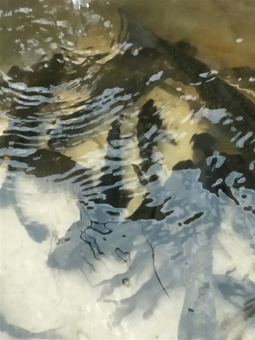 河壩頭釣的野生鯽魚。黃辣丁。安逸的很,自己吃不完,有想嘗鮮的聯系哈。價廉物美。