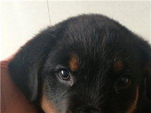出售罗威纳护卫犬一窝公母都有
