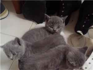 家养宠物猫咪,有喜欢的吗?