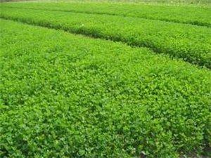 常年大量出售苜蓿草