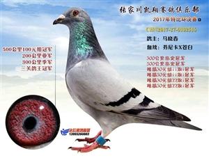 凯翔俱乐部携手观海听涛团队打造张川高端信鸽赛事平台