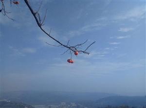 冬天来了!又到彬县柿红枝头时!