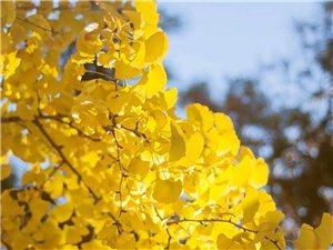 喜欢银杏林的秋色不过时间很短暂